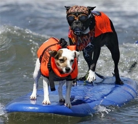 surfing-dogs-contest01