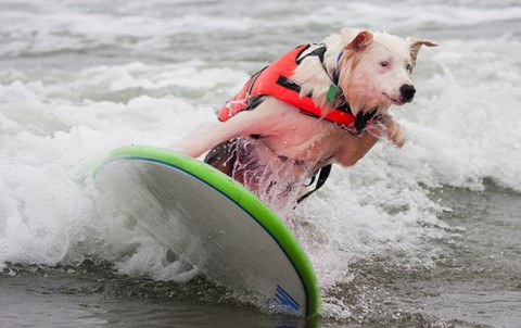surfing-dogs-contest02