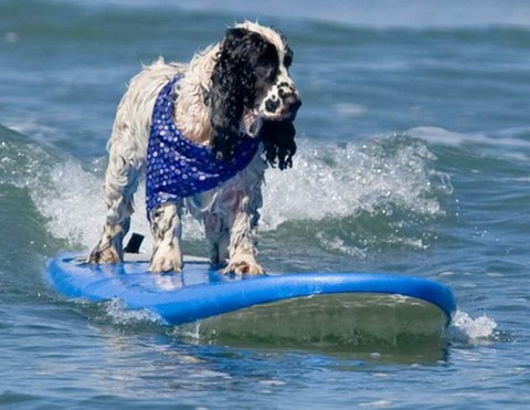 surfing-dogs-contest03