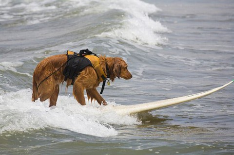 surfing-dogs-contest05