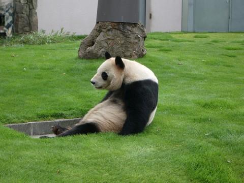 すごい猫背なパンダがかわいい