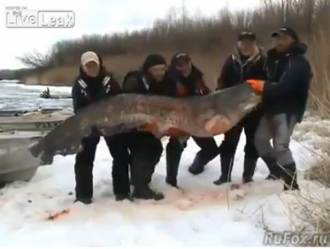 russians-catching-largest-catfish02