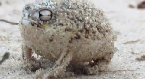namaqua-rain-flog02