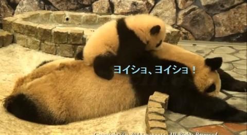 panda-baby-on-her-mom02