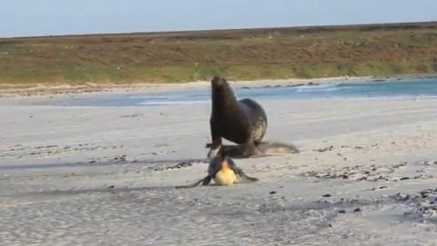 sea-lion-chasing-king-penguins02