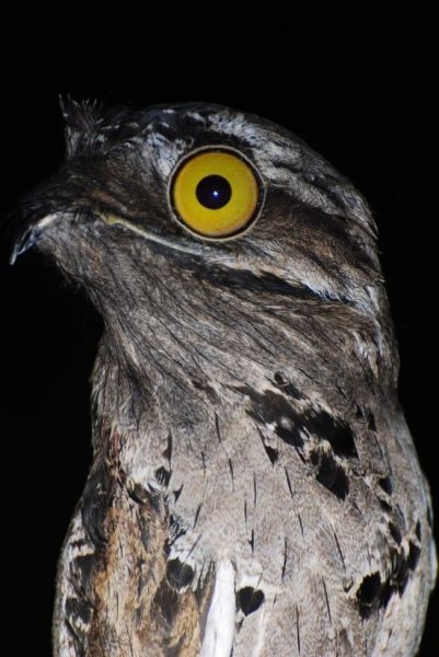 googlyeyed-potoo01