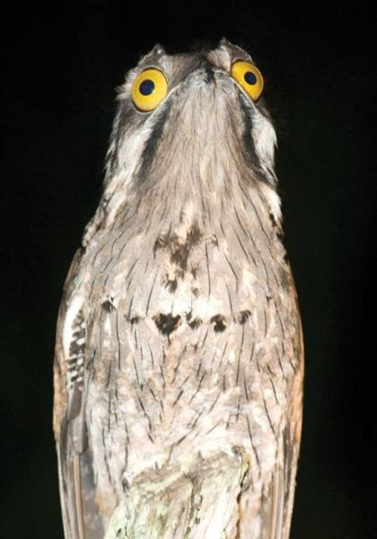 googlyeyed-potoo02