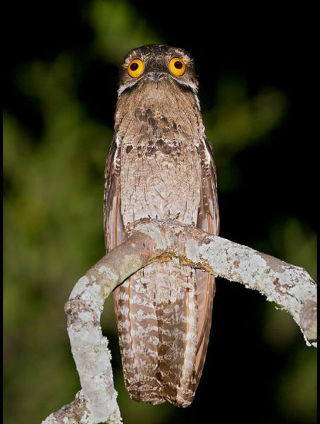 googlyeyed-potoo03