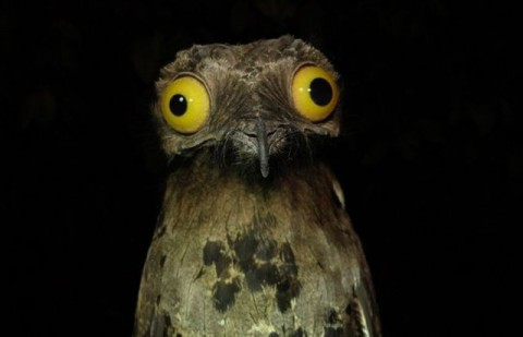 googlyeyed-potoo04