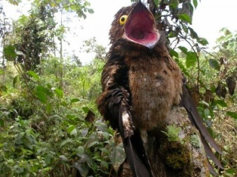 googlyeyed-potoo05