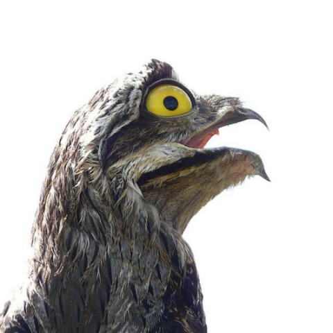 googlyeyed-potoo06