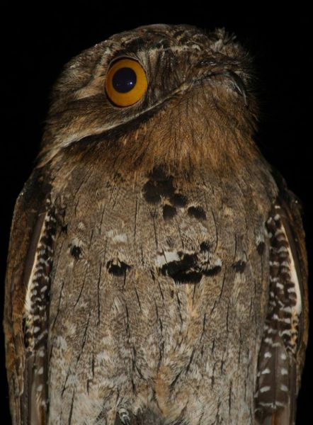 googlyeyed-potoo07