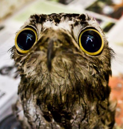 googlyeyed-potoo09