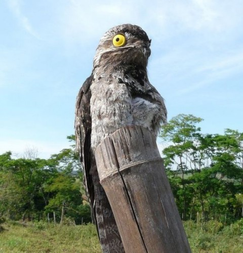 googlyeyed-potoo10