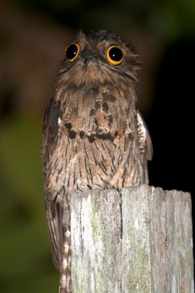 googlyeyed-potoo11