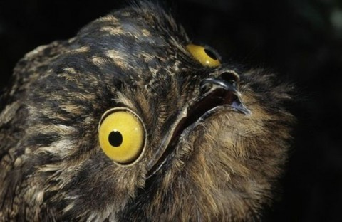 googlyeyed-potoo12