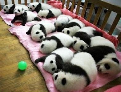 cute-panda-cub02
