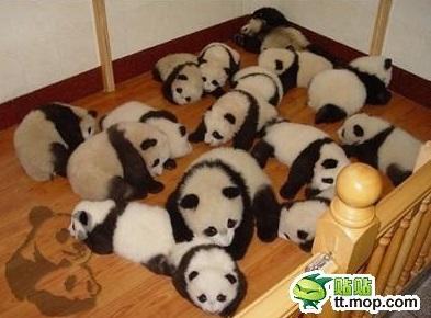 cute-panda-cub05