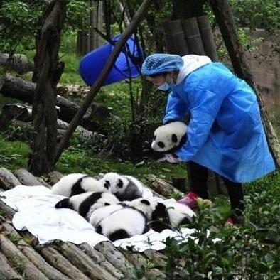 cute-panda-cub06