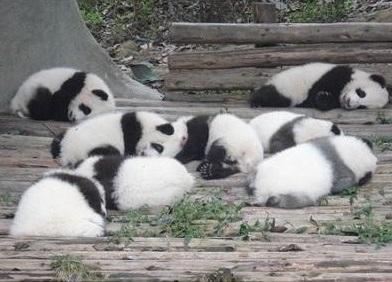 cute-panda-cub07