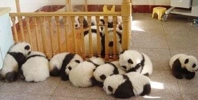 cute-panda-cub09
