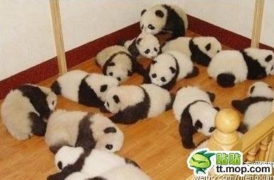 cute-panda-cub10
