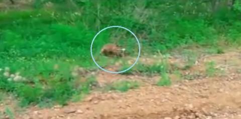 fox-cub-help02