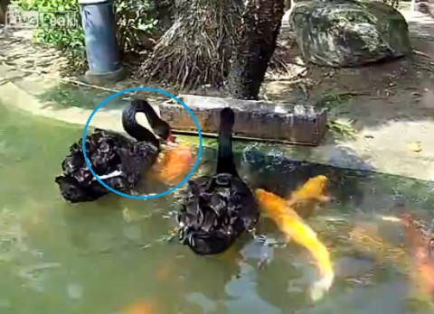 swans-feeding-koi-fish02