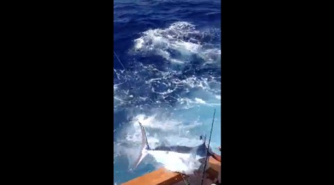 350lb-blue-marlin-jumps02