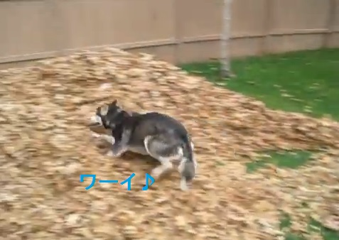 husky-playing-in-leaves02
