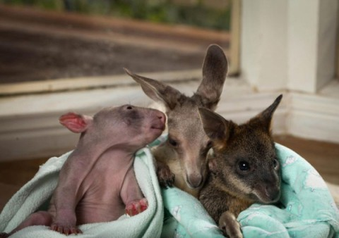 kangaroo-and-wombat10