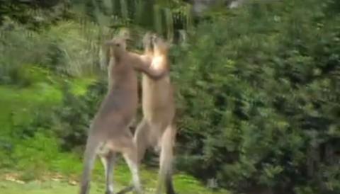 kangaroo-kickboxing02