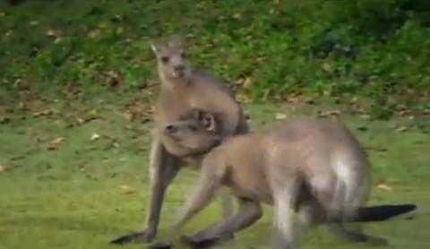 kangaroo-kickboxing03
