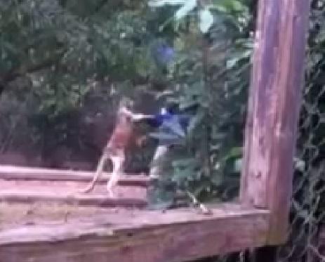 kangaroo-attack02