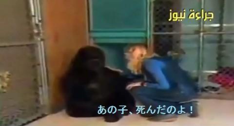 gorilla-express-her-grief02