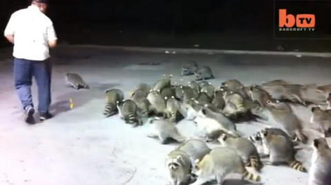 hungry-raccoons-surround01