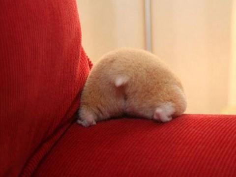 hamster-butts01