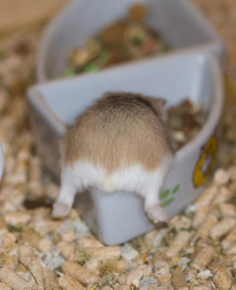 hamster-butts03