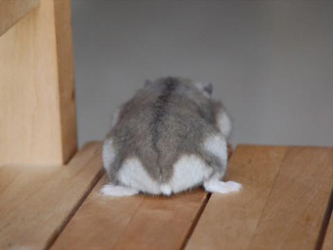 hamster-butts07
