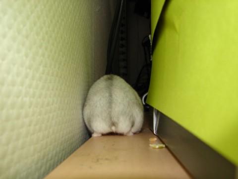 hamster-butts08