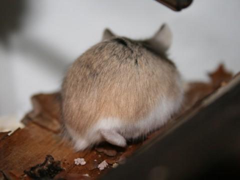 hamster-butts13