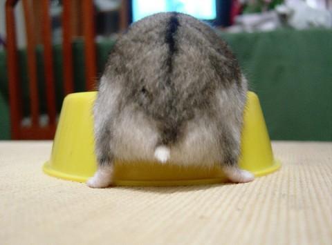 hamster-butts18
