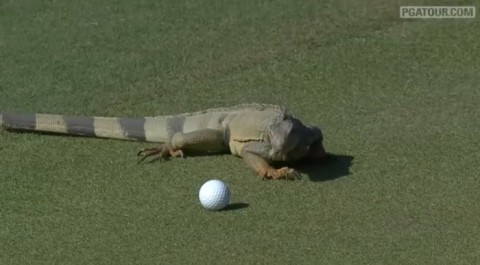 iguana-attacks-golfball02