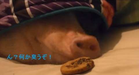sleeping-pig-wakes-up02
