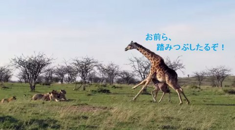 giraffe-saves-days-old-calf02