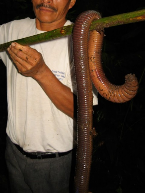 large-bodied-earthworm01