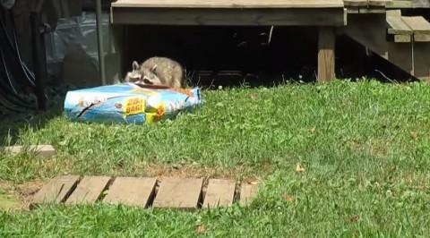 sneaky-raccoon02