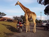 giraffe-and-1150-gs01