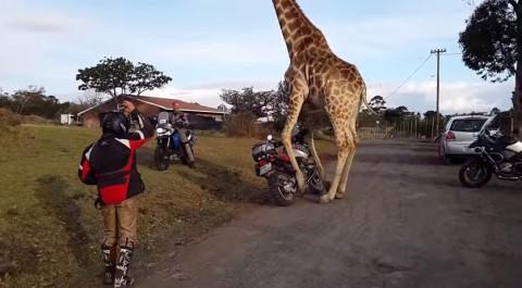 giraffe-and-1150-gs02