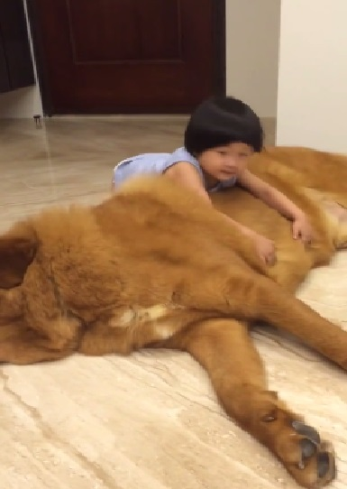 tibetan-mastiff-and-little-girl02